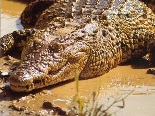 crocodile_006.jpg